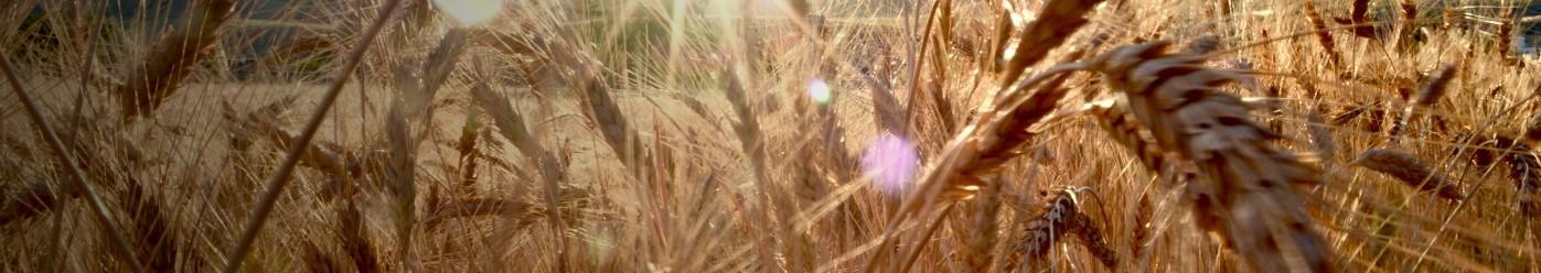 Zdjęcie przedstawia oświetlone słońcem pole pełne kłosów pszenicy.
